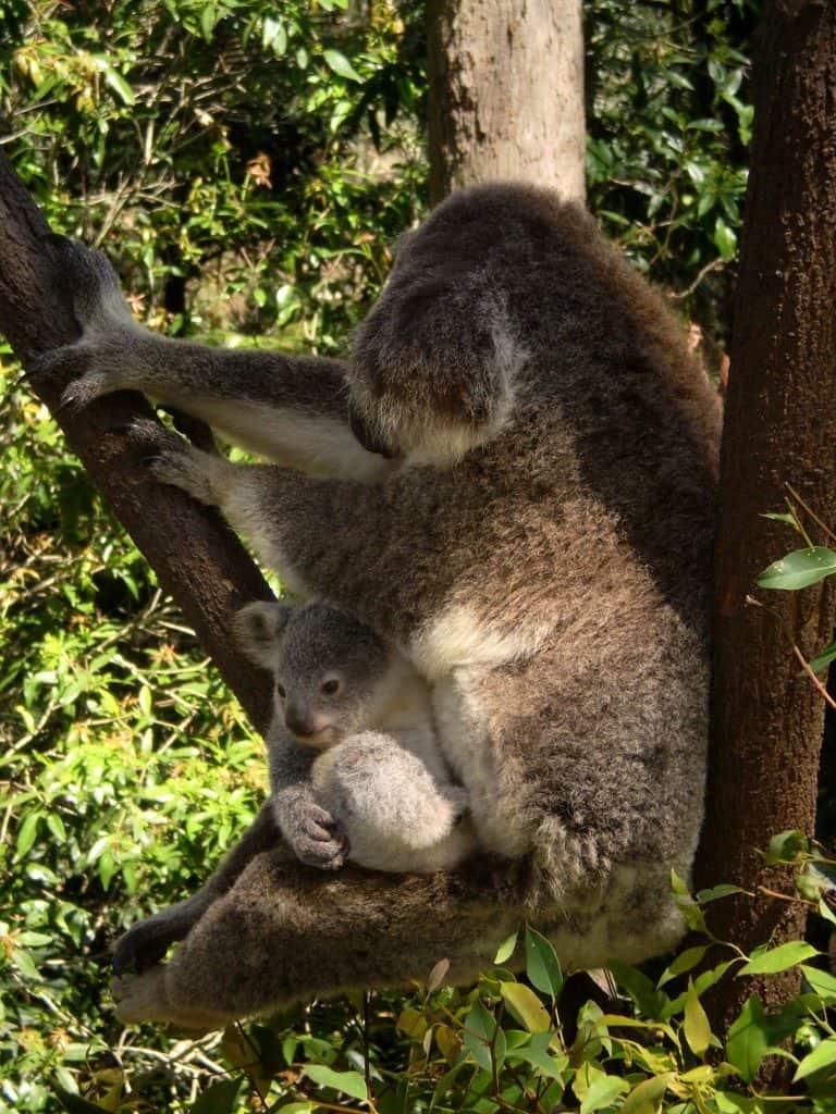 love Australia - Koala with baby