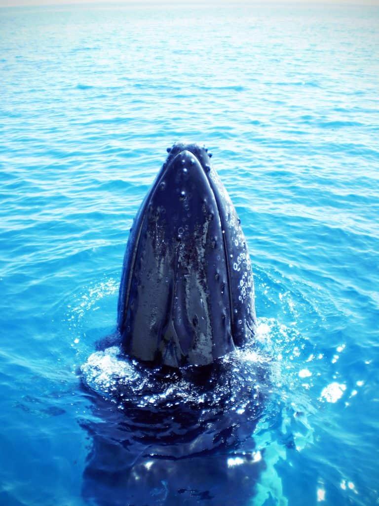 love Australia - humpback whale