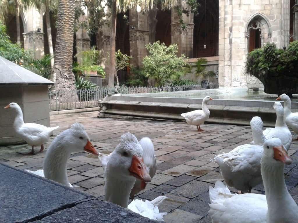Barcelona Geese at Cathedral La Seu