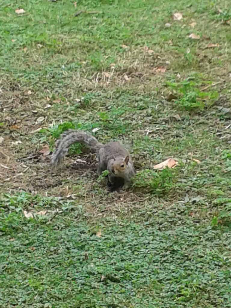 Squirrel St James Park London