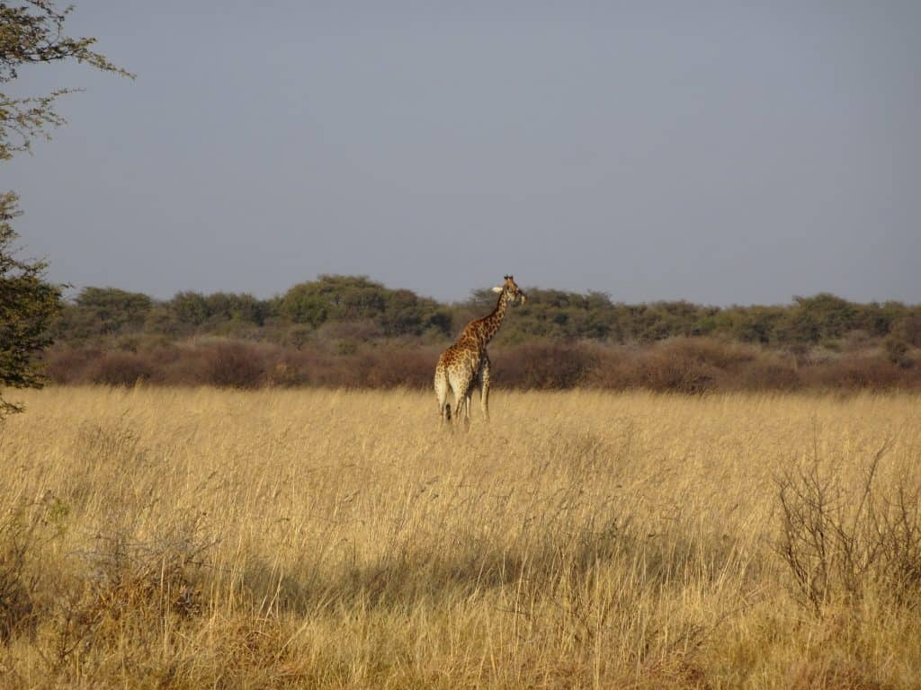 giraffe from afar