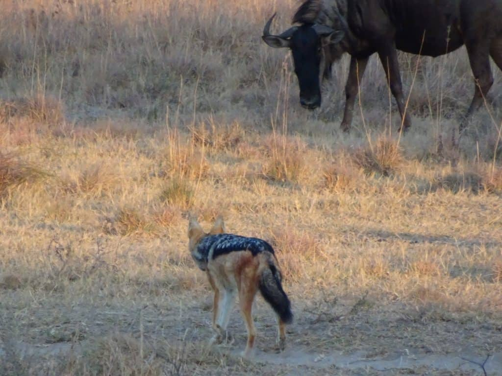 Jackal and wildebeest