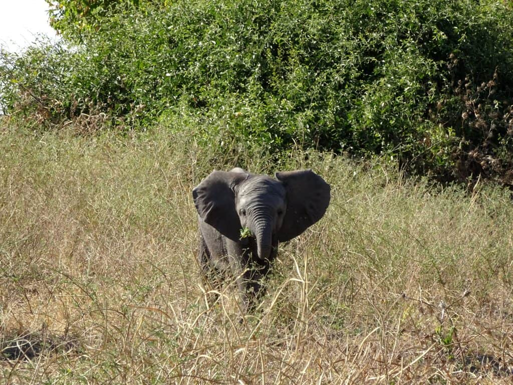 first africa safari baby elephant