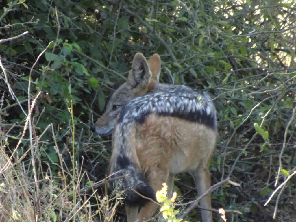 first africa safari jackal