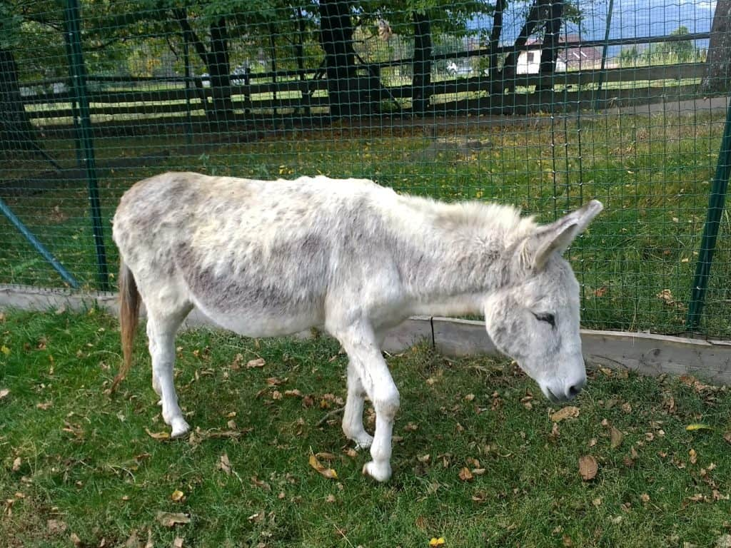 White donkey at Aiderbichl