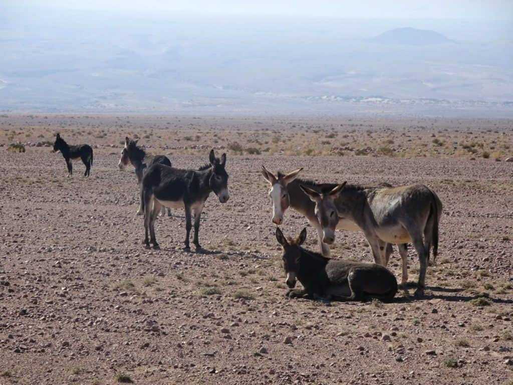 Wild donkeys in the Atacama