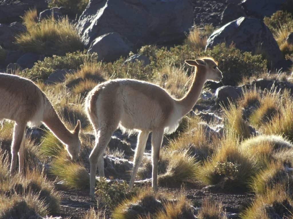 Vicunas at El Tatio - Atacama