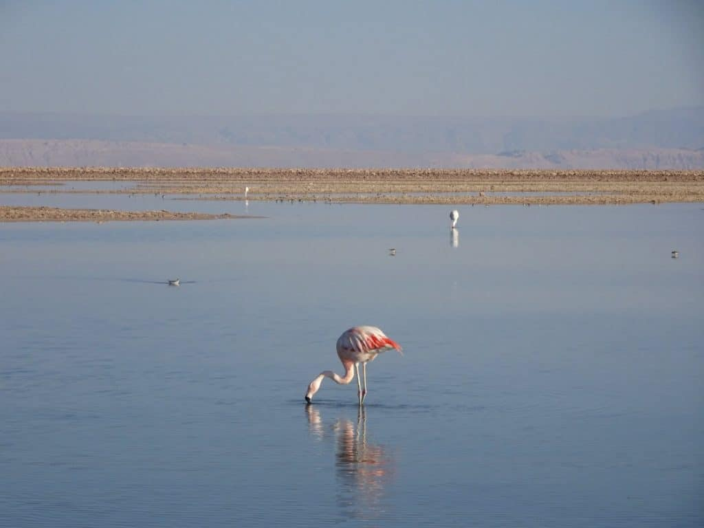 Flamingoes in the Laguna Chaxa - Atacama