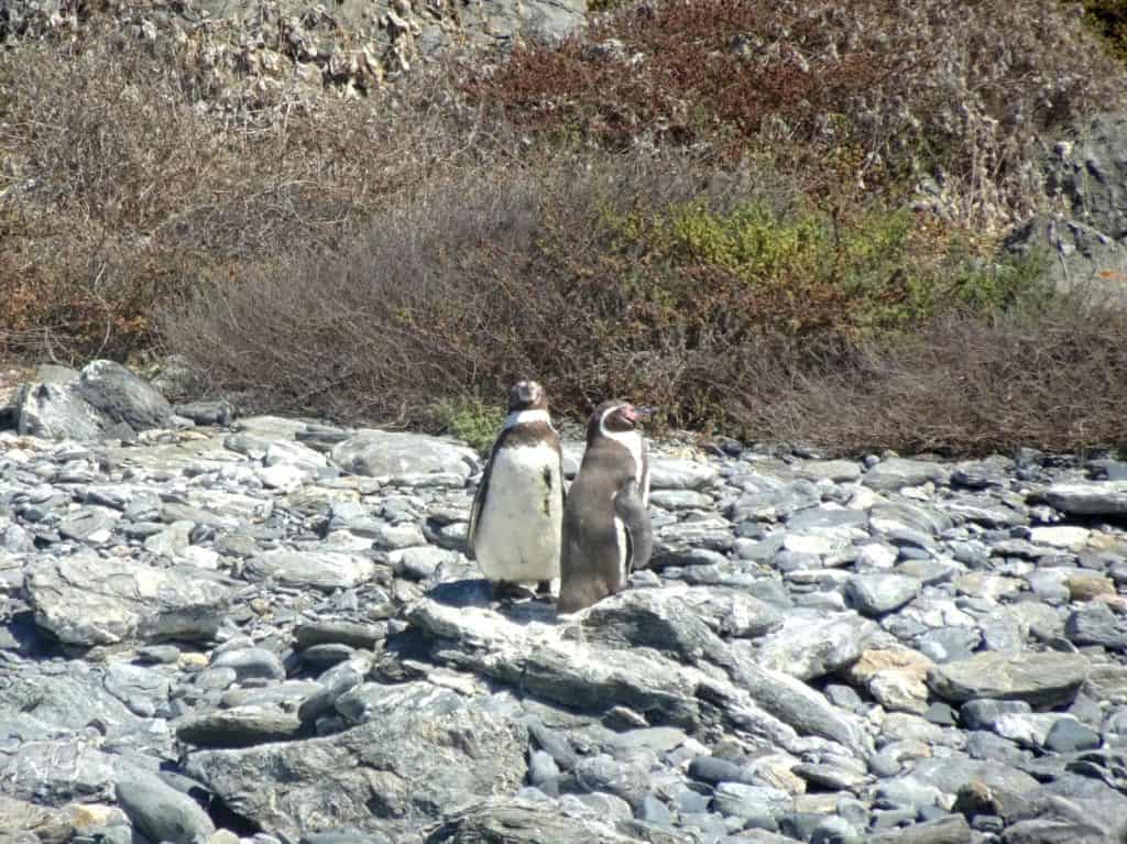 Penguins on Isla Damas Chile
