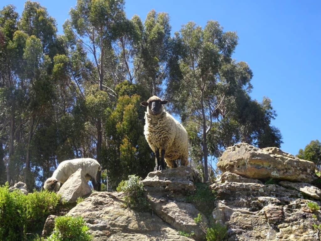 Sheep on Isla del Sol Titicaca Lake