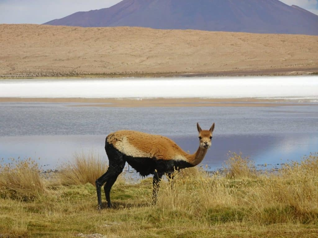 a vicuna next to a lagoon