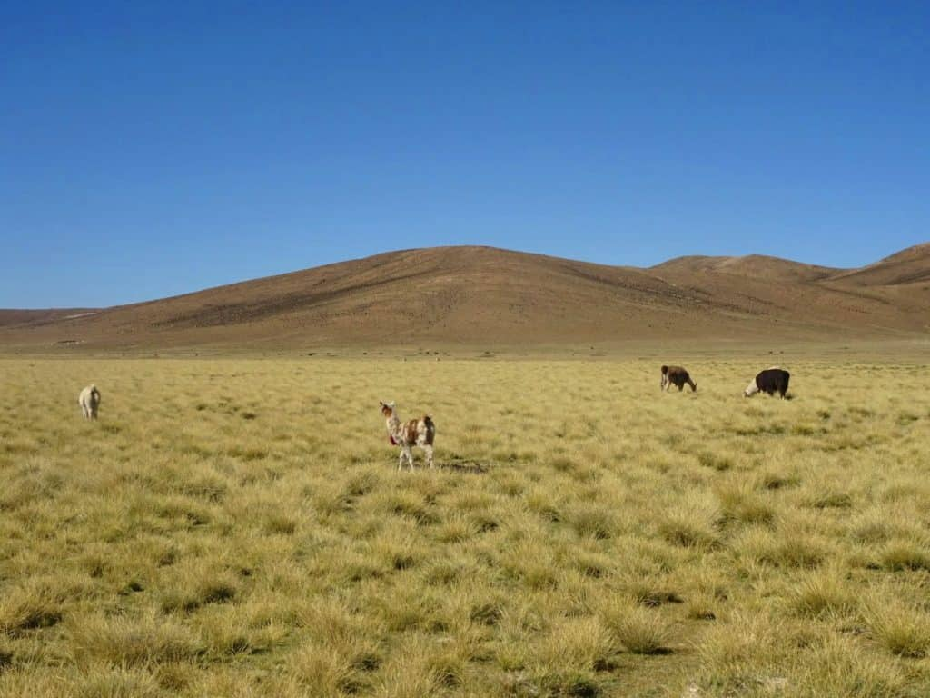 lamas in the Bolivian mountains