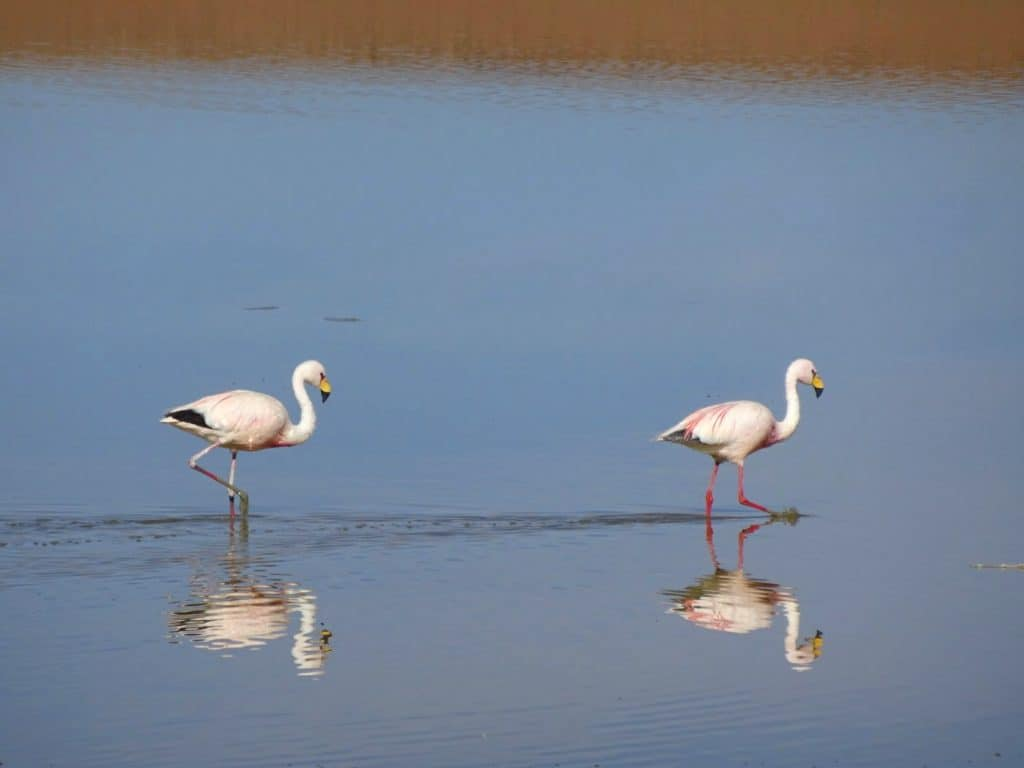 Flamingoes in the lagoon in Southern Bolivia