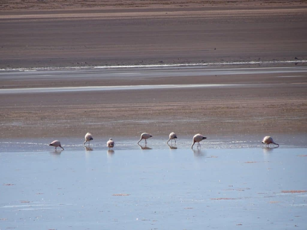 flamingoes in a lagoon in Bolivia
