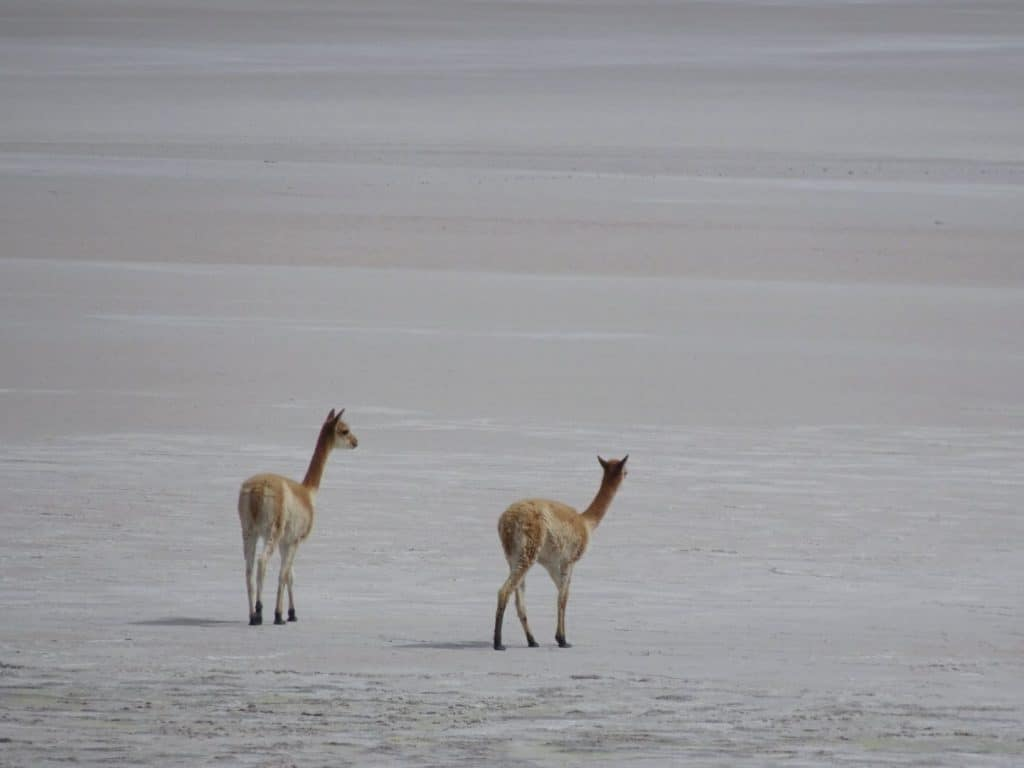 vicunas out on the lagoon