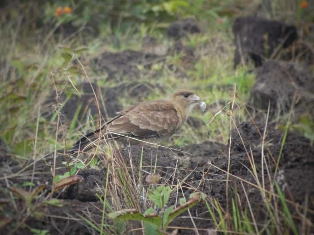 Bird of Prey Easzer Island