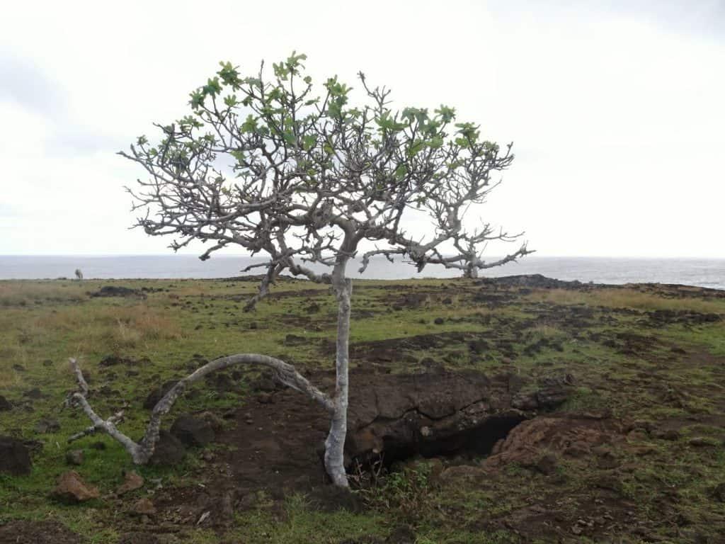 Tree on Easter Island