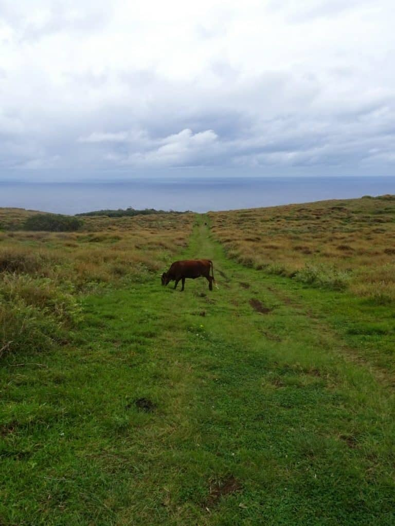 Cow on Easter Island