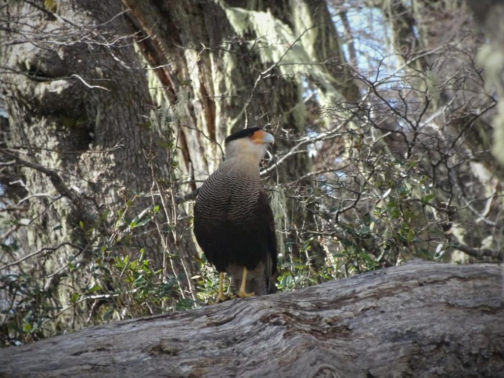 Southern creted caracara in forest around Bariloche Argentina