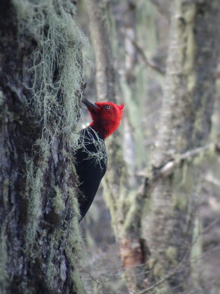 Woodpecker Bariloche Argentina