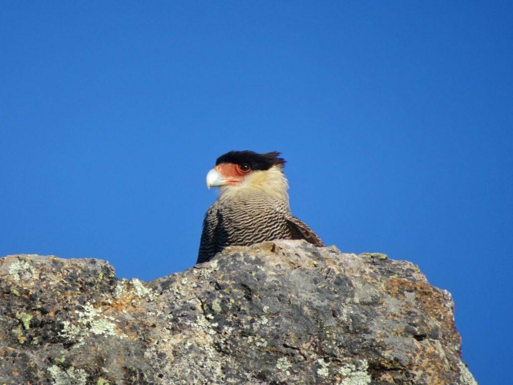 Southern Crested Caracara Cerro Otto Bariloche Argentina