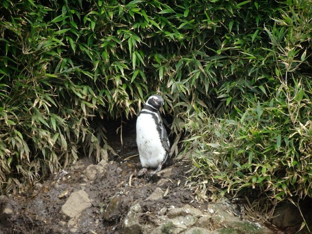 Penguin Punihuil Chiloe island