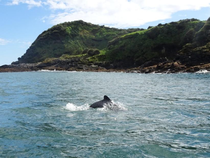Dolphin Punihuil Chiloe island
