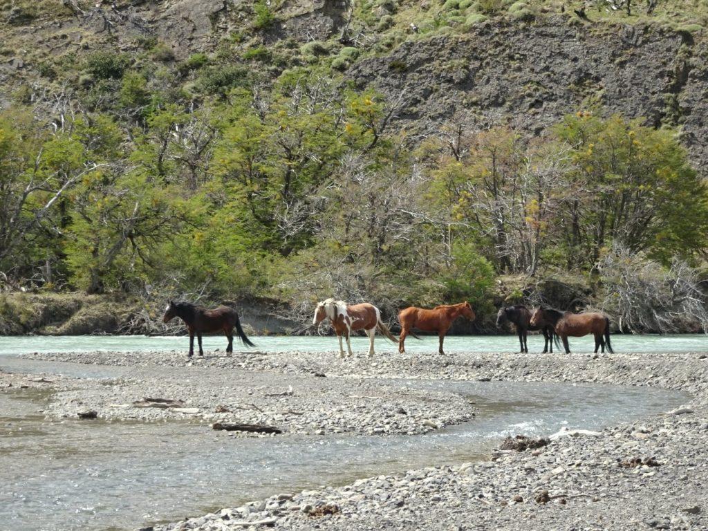 Torres del Paine NP Horses