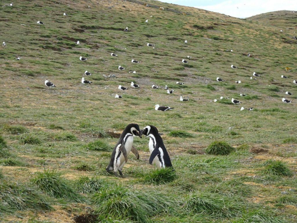 Magellanic pengiun couple on Isla Magdalena, Patagonia, Chile