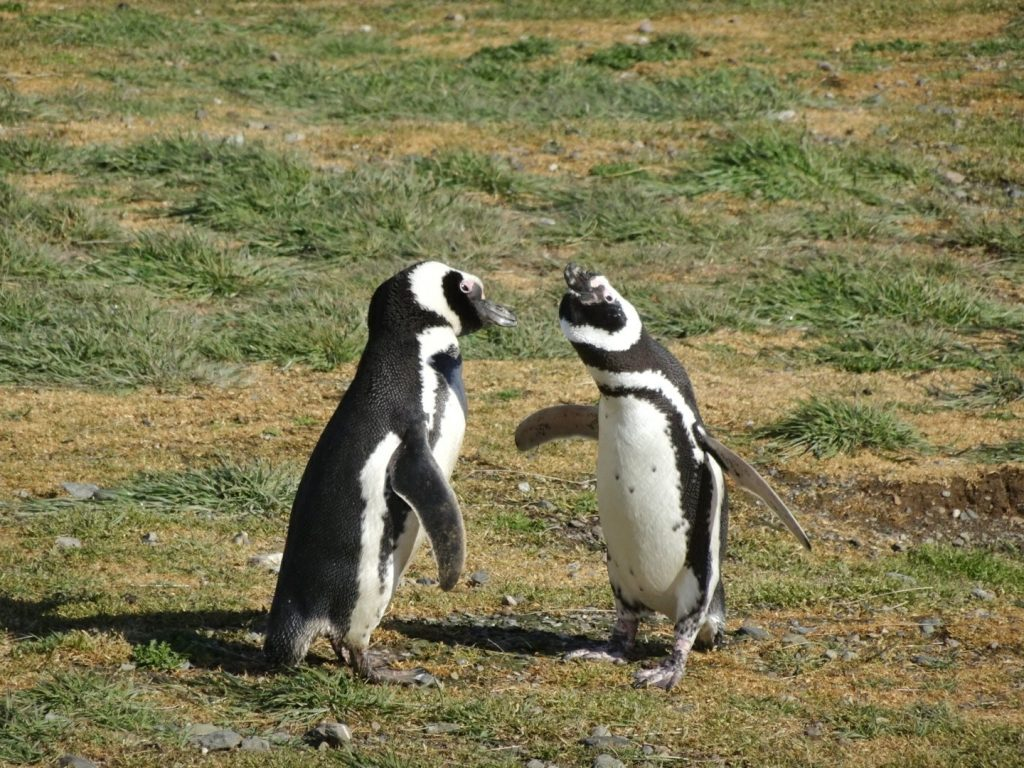Two Magellanic penguins on Isla Magdalena, Chile