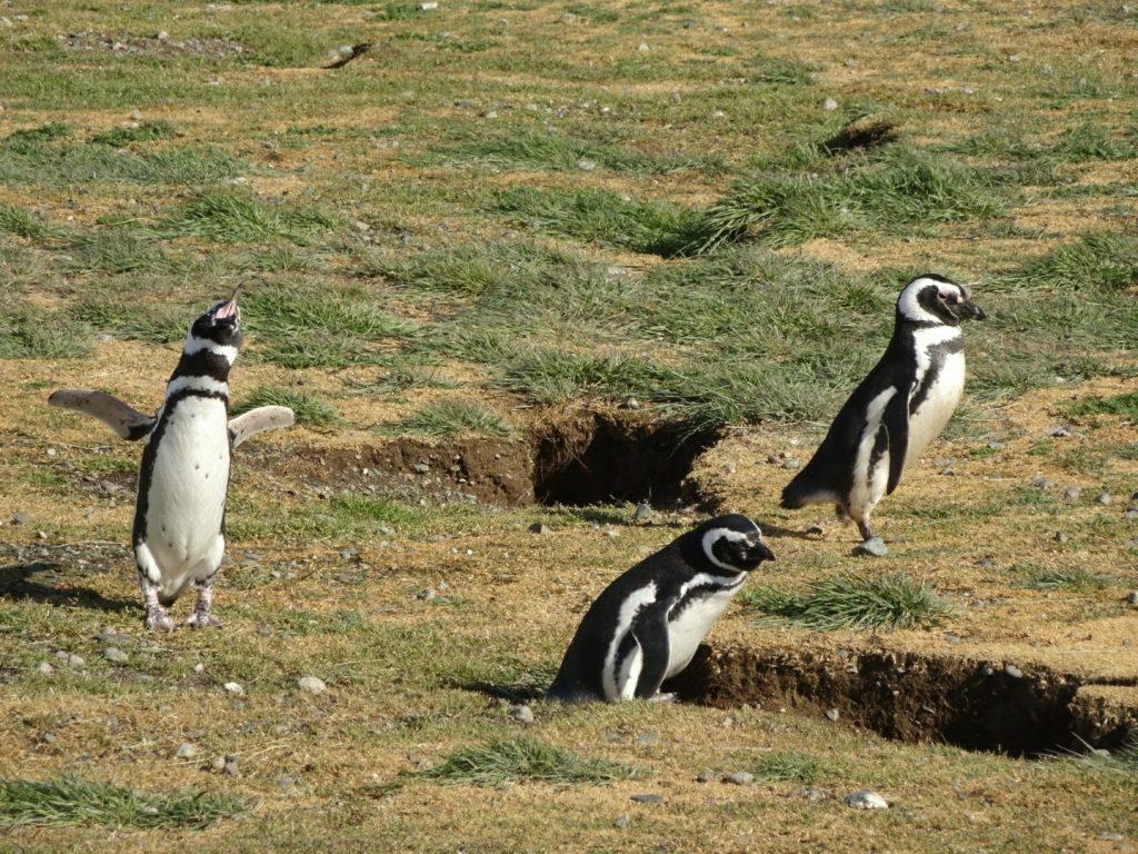 Magellanic penguins on Isla Magdalena, Chile