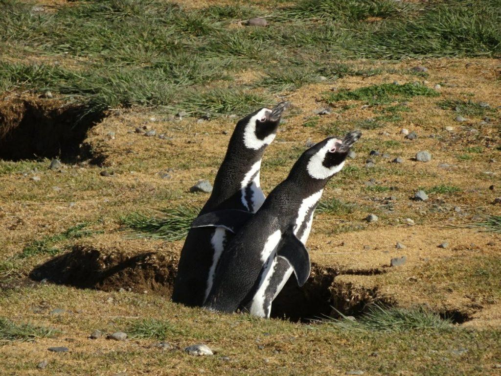 Magellanic penguin couple, Isla Magdalena, Chile