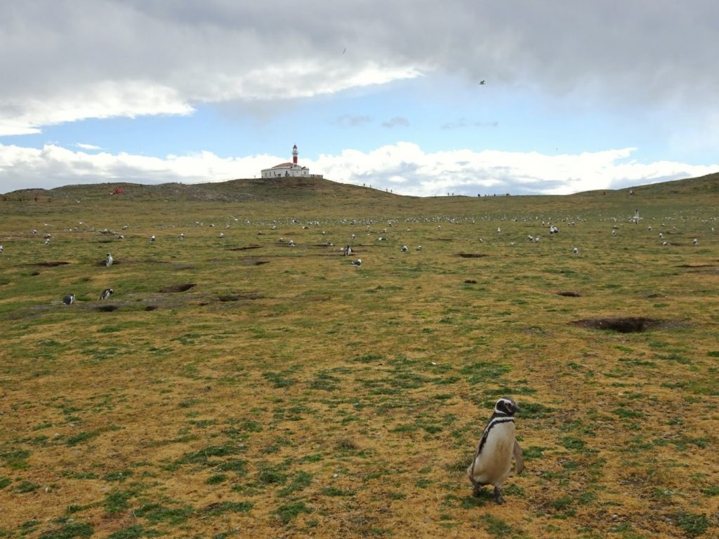 Magellanic penguin colony on Isla Magdalena, Patagonia, Chile