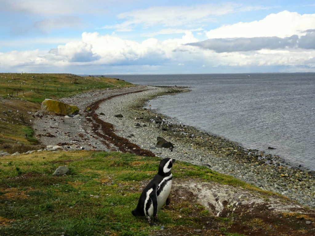 Magellanic penguin on Isla Magdalena, Chile
