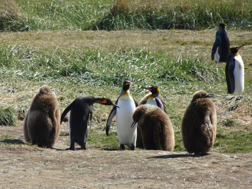 King penguins and chicks, Patagonia