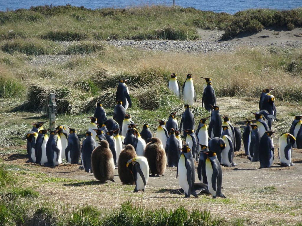 King Penguin Colony, Tierra del Fuego, Patagonia, Chile
