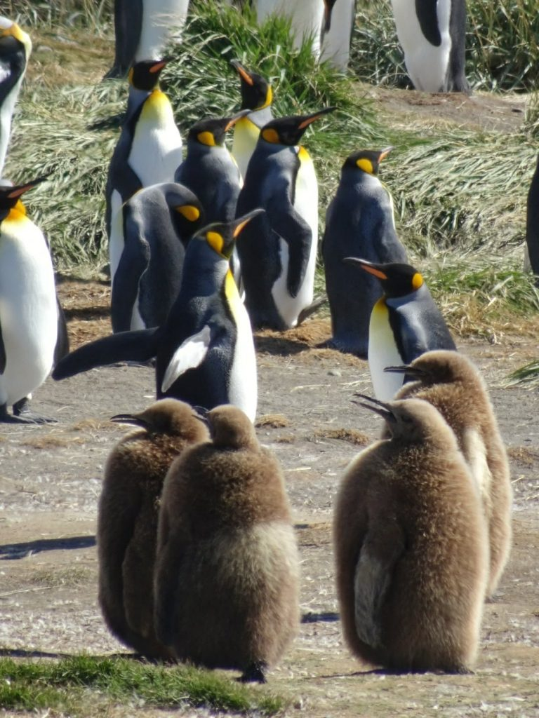 King penguin chicks, Tierra del Fuego, Chile