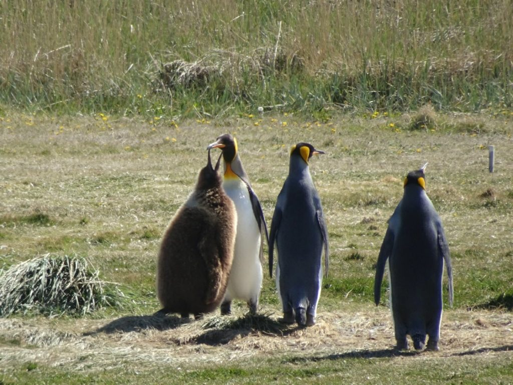 King Penguins with chick, Patagonia, Chile