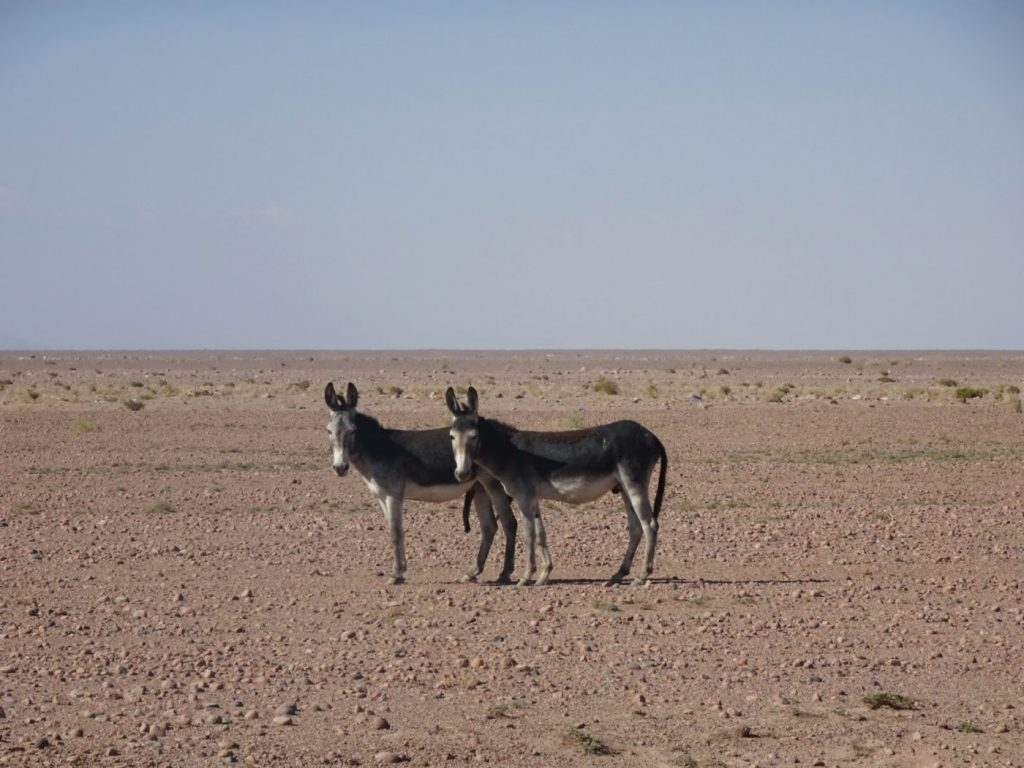 Donkeys, Atacama, Chile