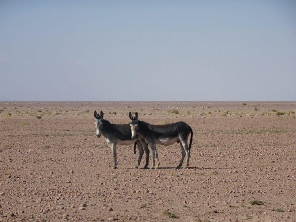 Donkeys, Atacama, Chile