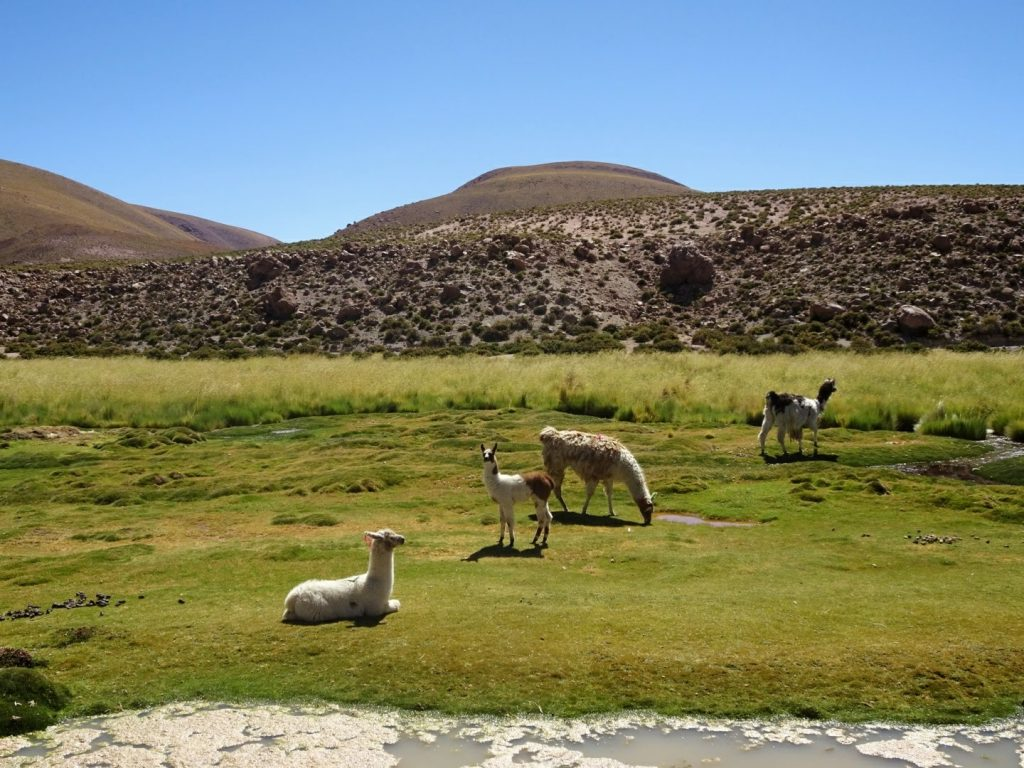 Alpacas, Chile working holiday review