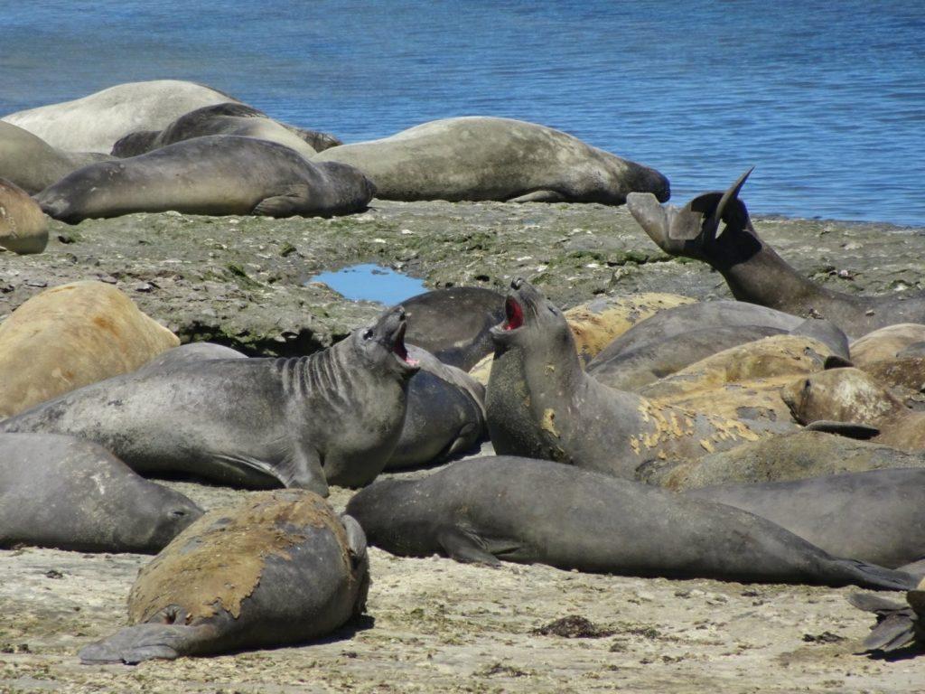 Elephant selas, Peninsula Valdes, Argentina