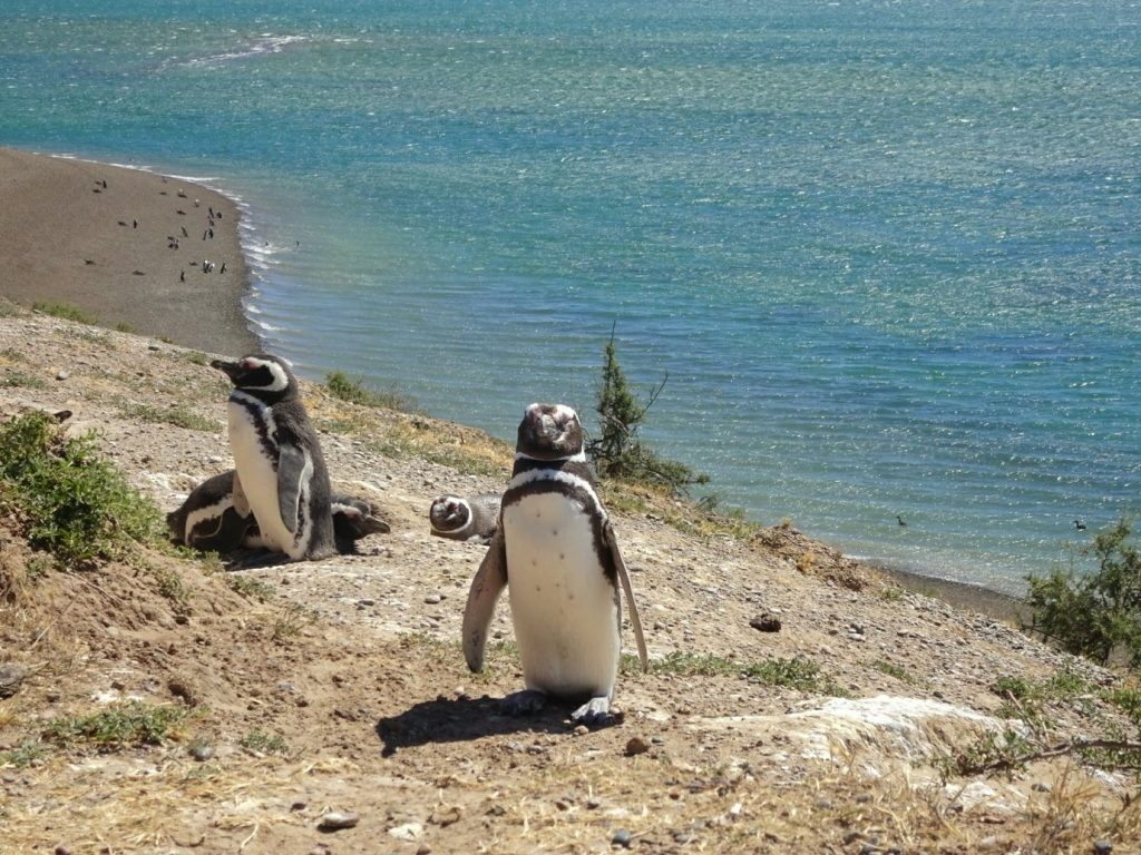 Penguins in Peninsula Valdes, Argentina