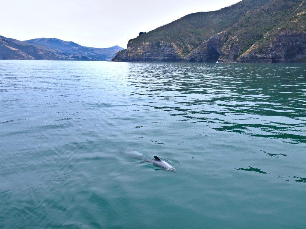 Hector's Dolphins Akaroa Banks Peninsula New Zealand