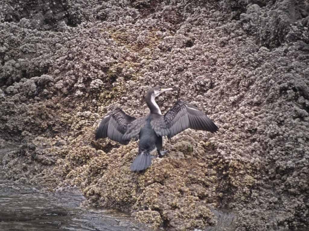Kormoran Bird Akaroa New Zealand