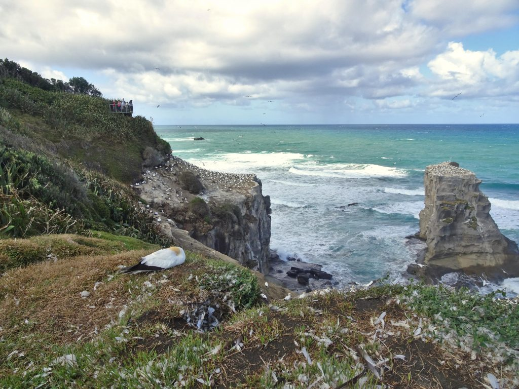 Muriwai Gannet Colony, Auckland, New Zealand