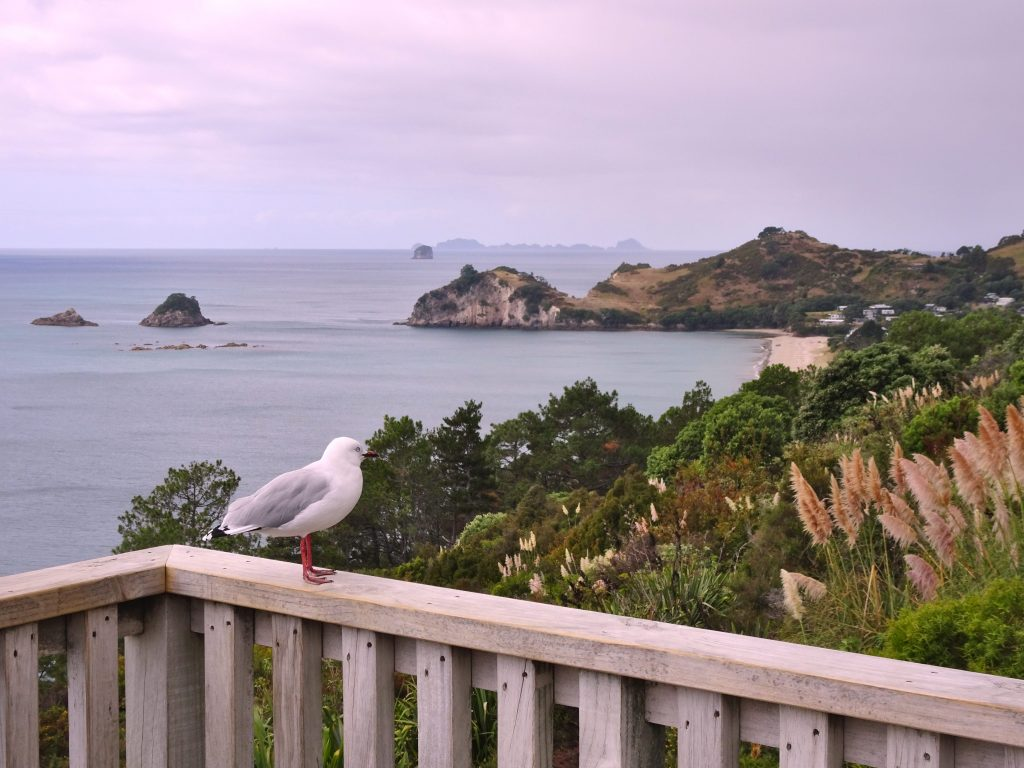Seagull at Cathedral Cove lookout, Coromandel Peninsula, New Zealand