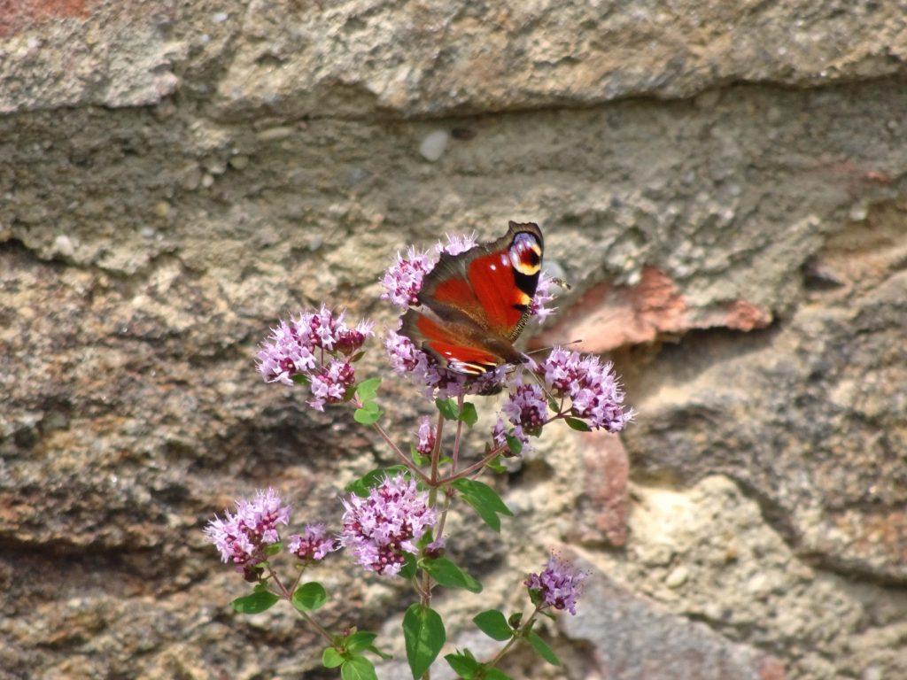 Red Butterfly on purple Flower, Burgruine Runding, Bavaria, Germany