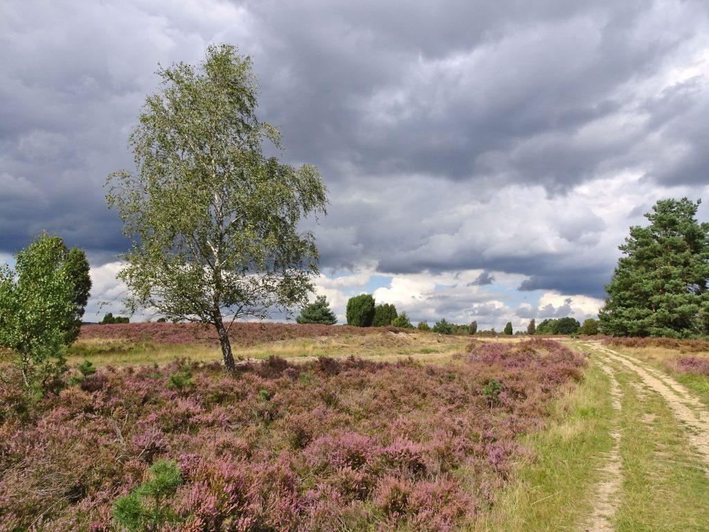 Lüneburger Heide, Heathland, Purple Blom, Heideblüte, Germany
