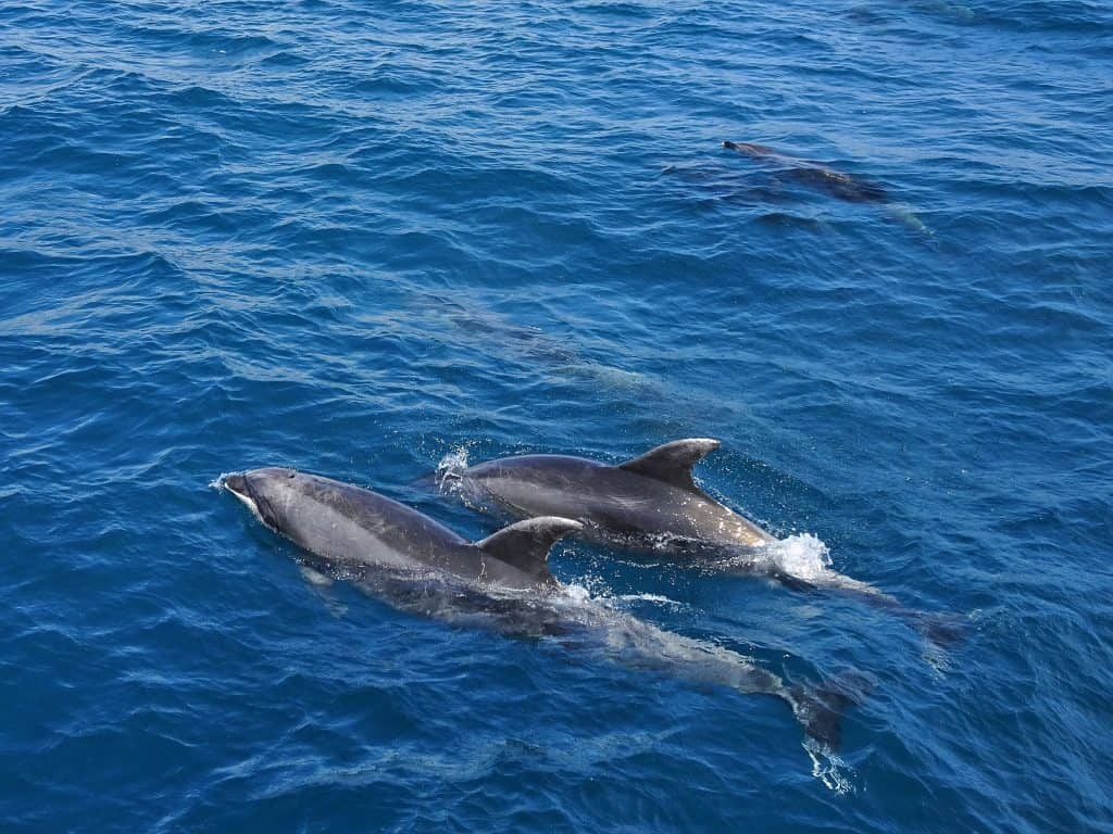 Pod of dolphins in the Bay of Islands, New Zealand